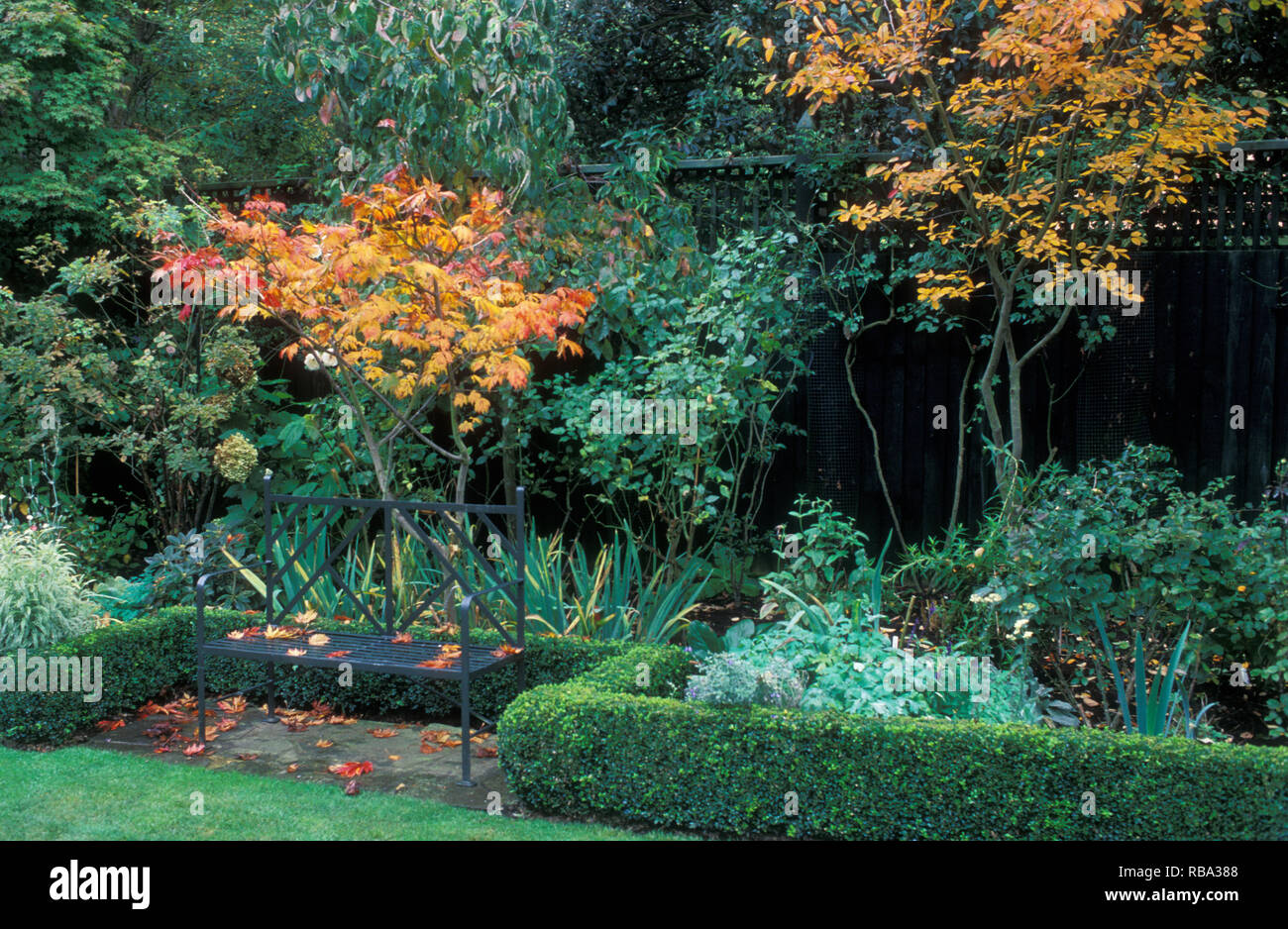 AUTUMN GARDEN SCENE (BUXUS HEDGE, ACER PALMATUM AND ON THE RIGHT EUONYMUS CANADENSIS) - Stock Image