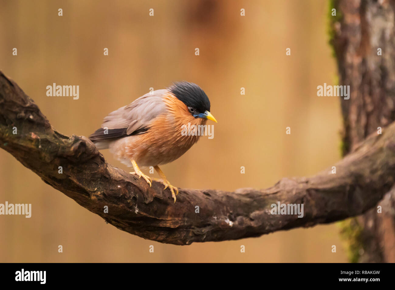 The brahminy myna or starling Sturnia pagodarum is a resident breeder in Nepal and India, a winter visitor to Sri Lanka and a summer visitor in the we Stock Photo