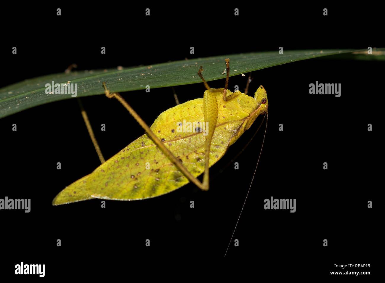 Dead leaf-mimic katydid (Orophus tesselatus) under leaf, Quepos, Costa Rica - Stock Image