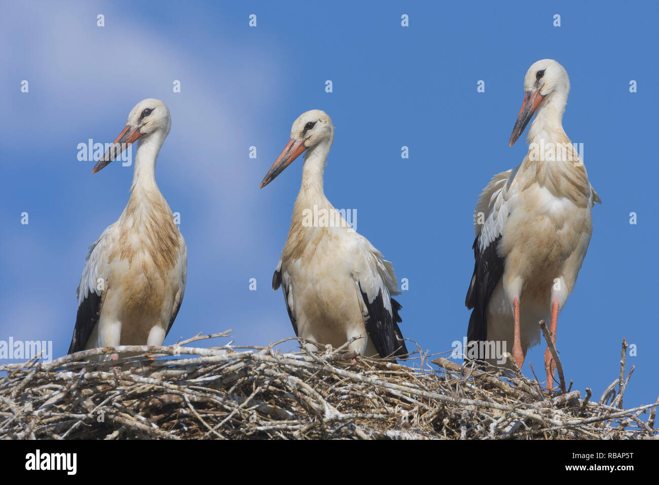White Stork (Ciconia ciconia), three juveniles ready to fledge standing on the edge of the nest - Stock Image