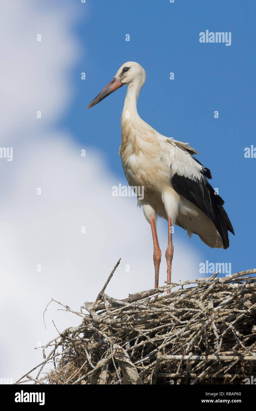 White Stork (Ciconia ciconia), juvenile ready to fledge standing on the edge of the nest - Stock Image