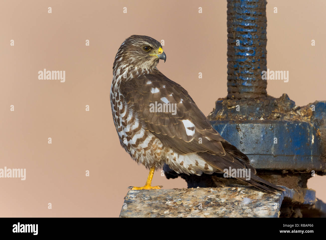 Levant Sparrowhawk (Accipiter brevipes), juvenile standing on a sluice - Stock Image