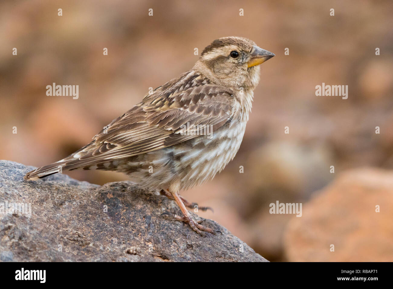 Rock Sparrow (Petronia petronia barbara), side view of an adult standing on a stone - Stock Image