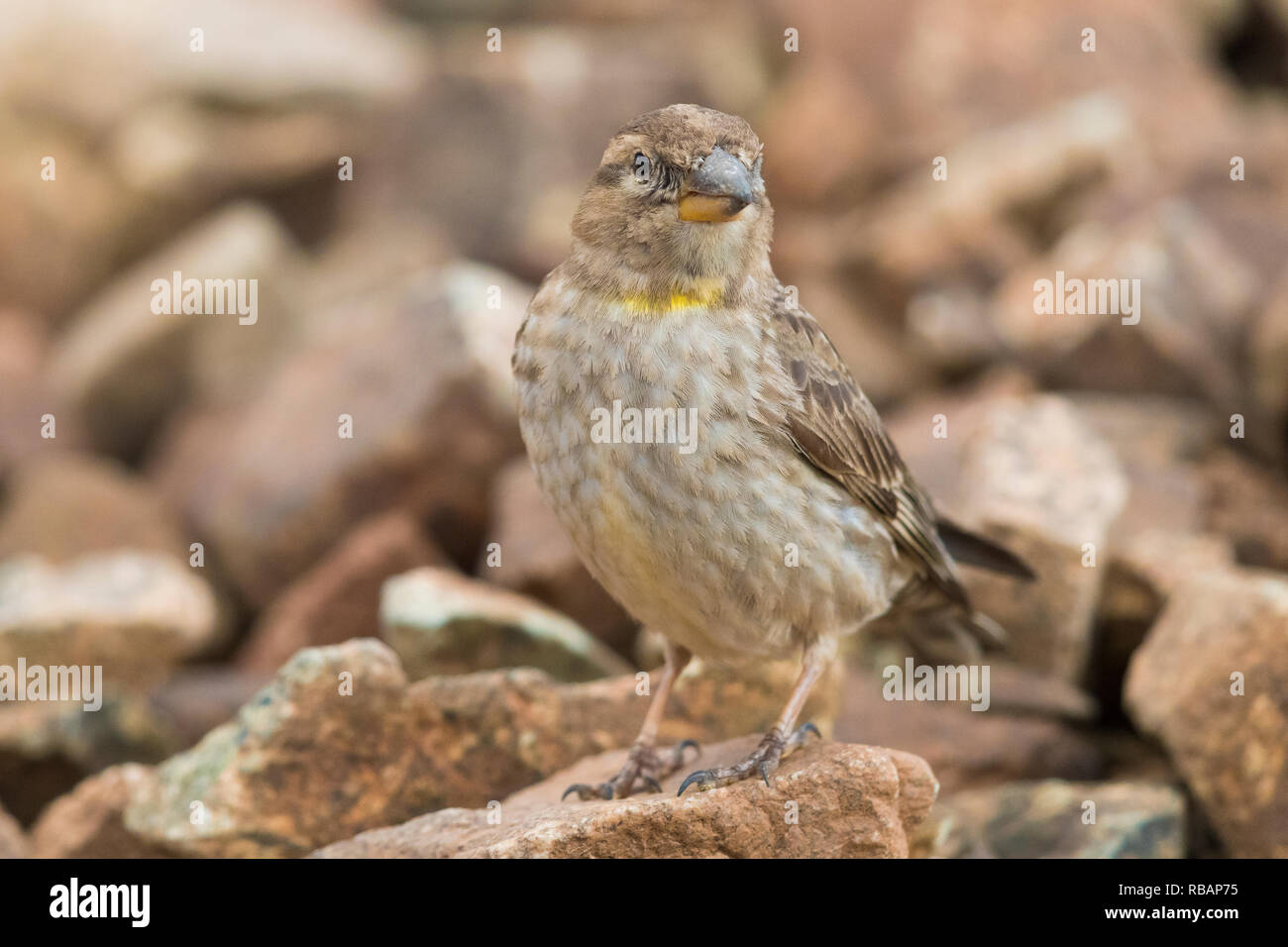 Rock Sparrow (Petronia petronia barbara), front view of an adult standing on a stone - Stock Image