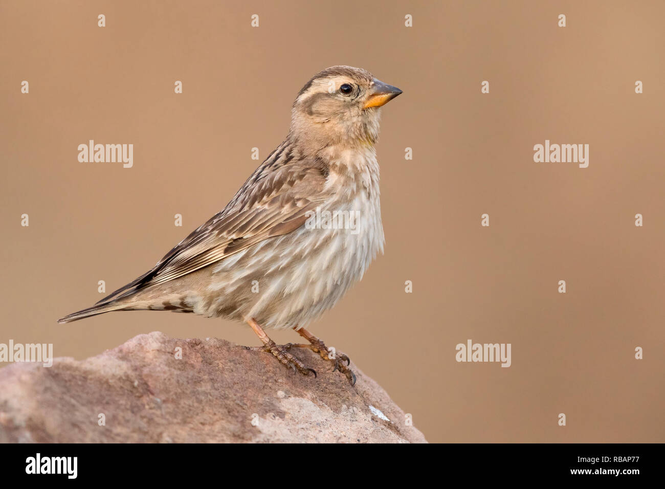 Rock Sparrow (Petronia petronia barbara),side view of an adult standing on a stone - Stock Image
