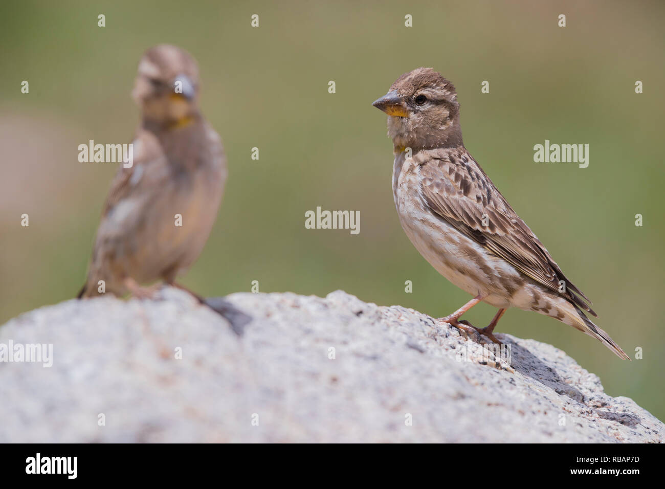 Rock Sparrow (Petronia petronia barbara), two adults standing on a stone - Stock Image