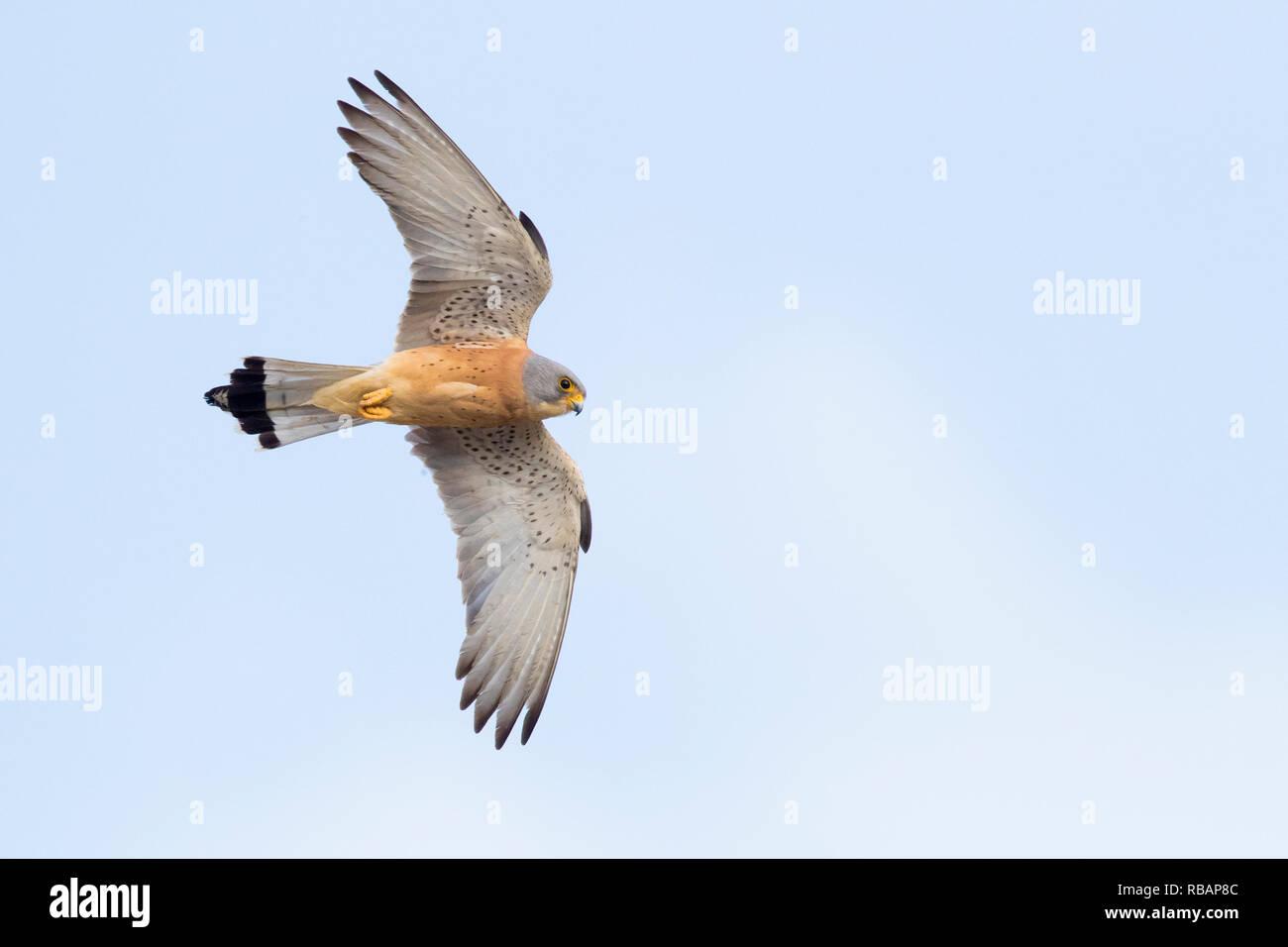 Lesser Kestrel (Falco naumanni), adult male in flight seen from below in Matera - Stock Image