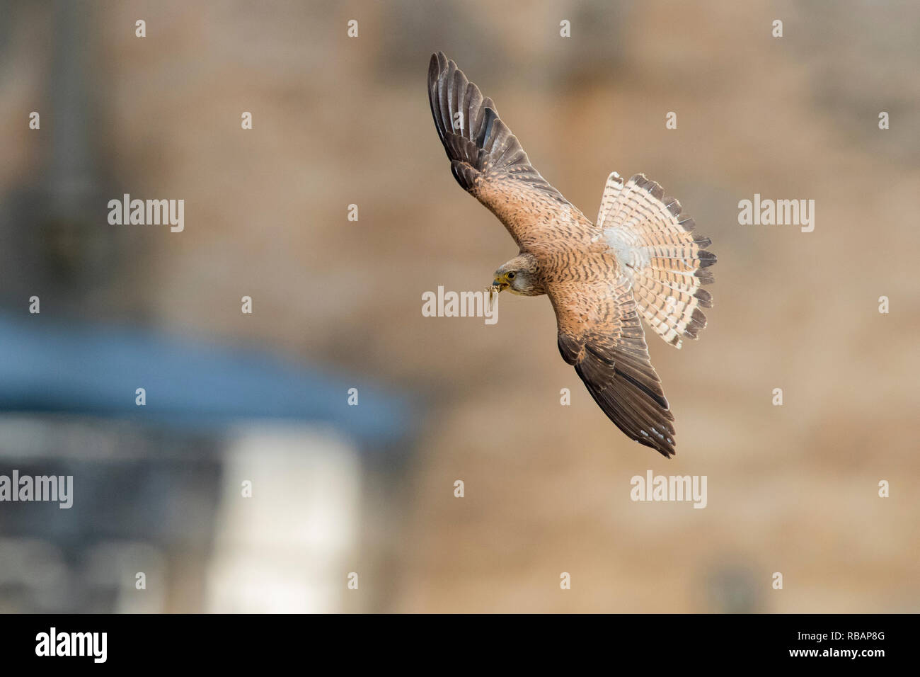 Lesser Kestrel (Falco naumanni), - Stock Image