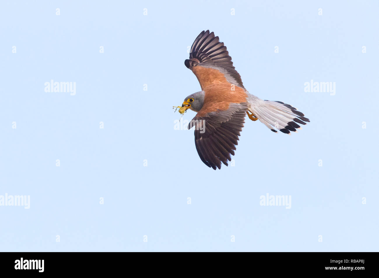 Lesser Kestrel (Falco naumanni), adult male in flight showing upperparts in Matera - Stock Image