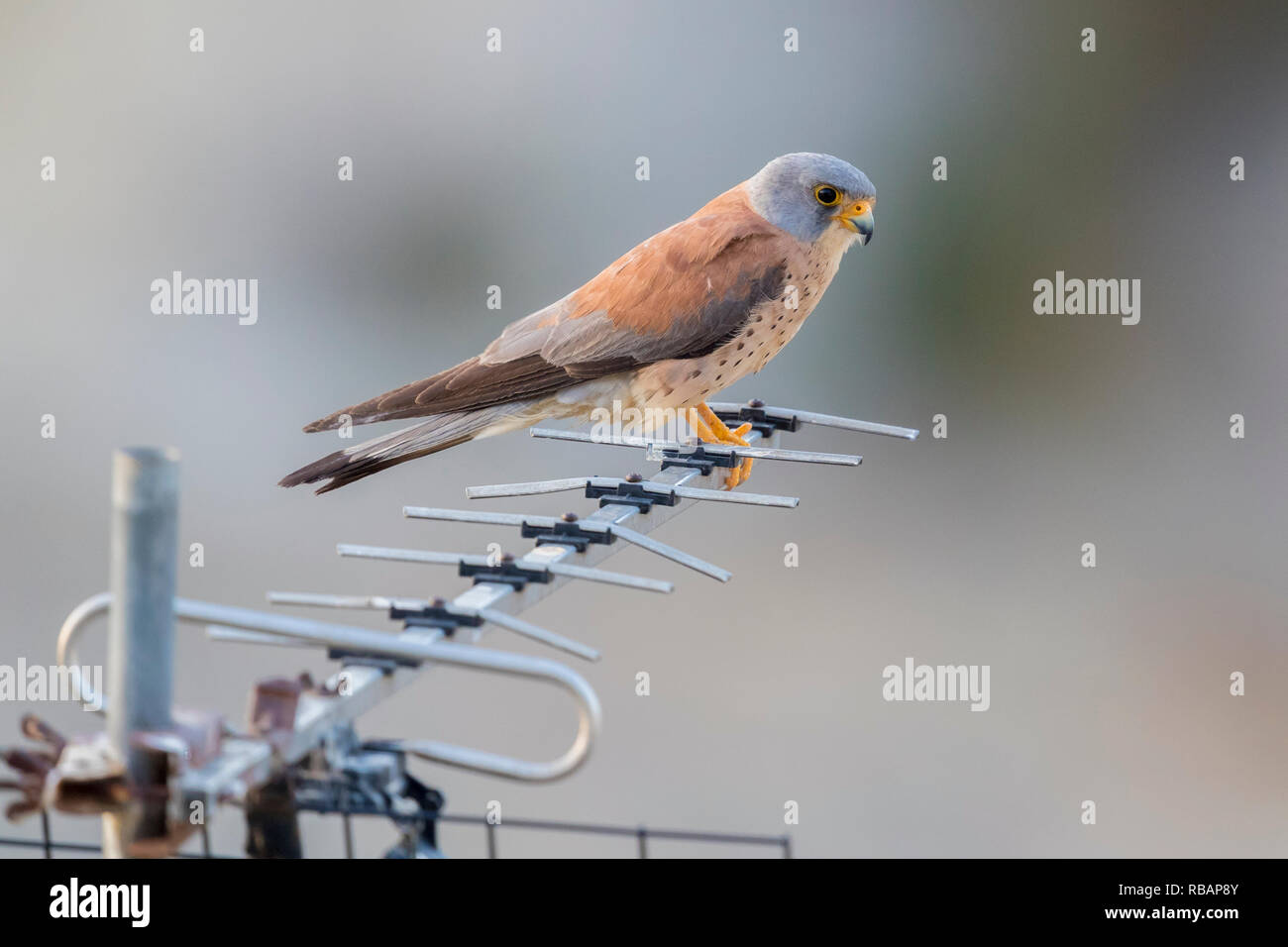 Lesser Kestrel (Falco naumanni), adult male perched on an antenna in Matera Stock Photo