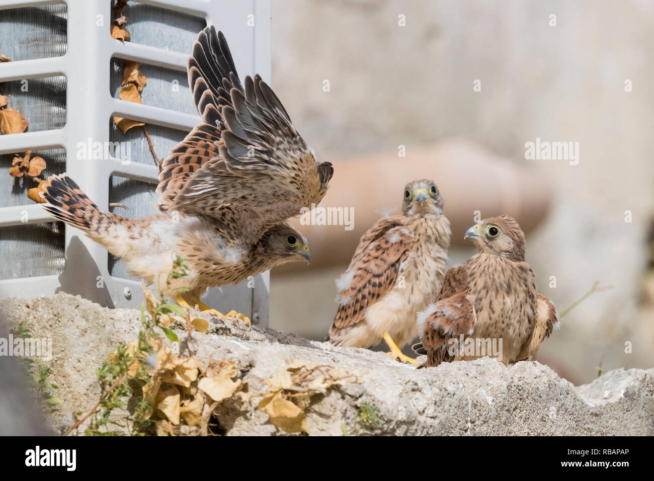 Lesser Kestrel (Falco naumanni), three chicks out of the nest in Matera - Stock Image
