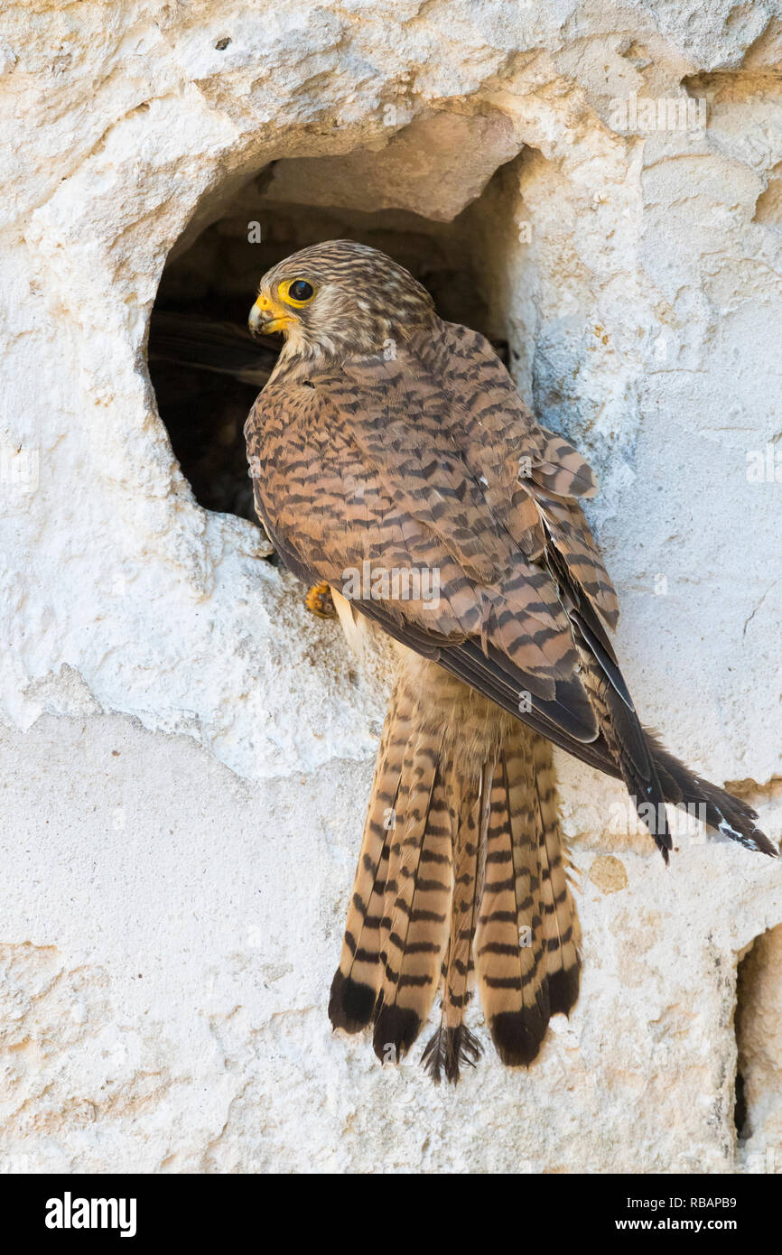 Lesser Kestrel (Falco naumanni), adult female at the entrance of the nest in Matera Stock Photo