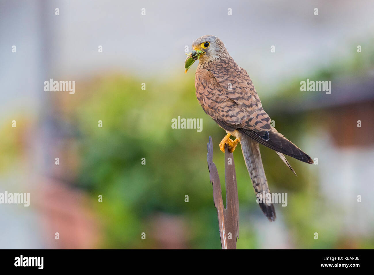 Lesser Kestrel (Falco naumanni), adult female perched on a meteal sign in Matera - Stock Image