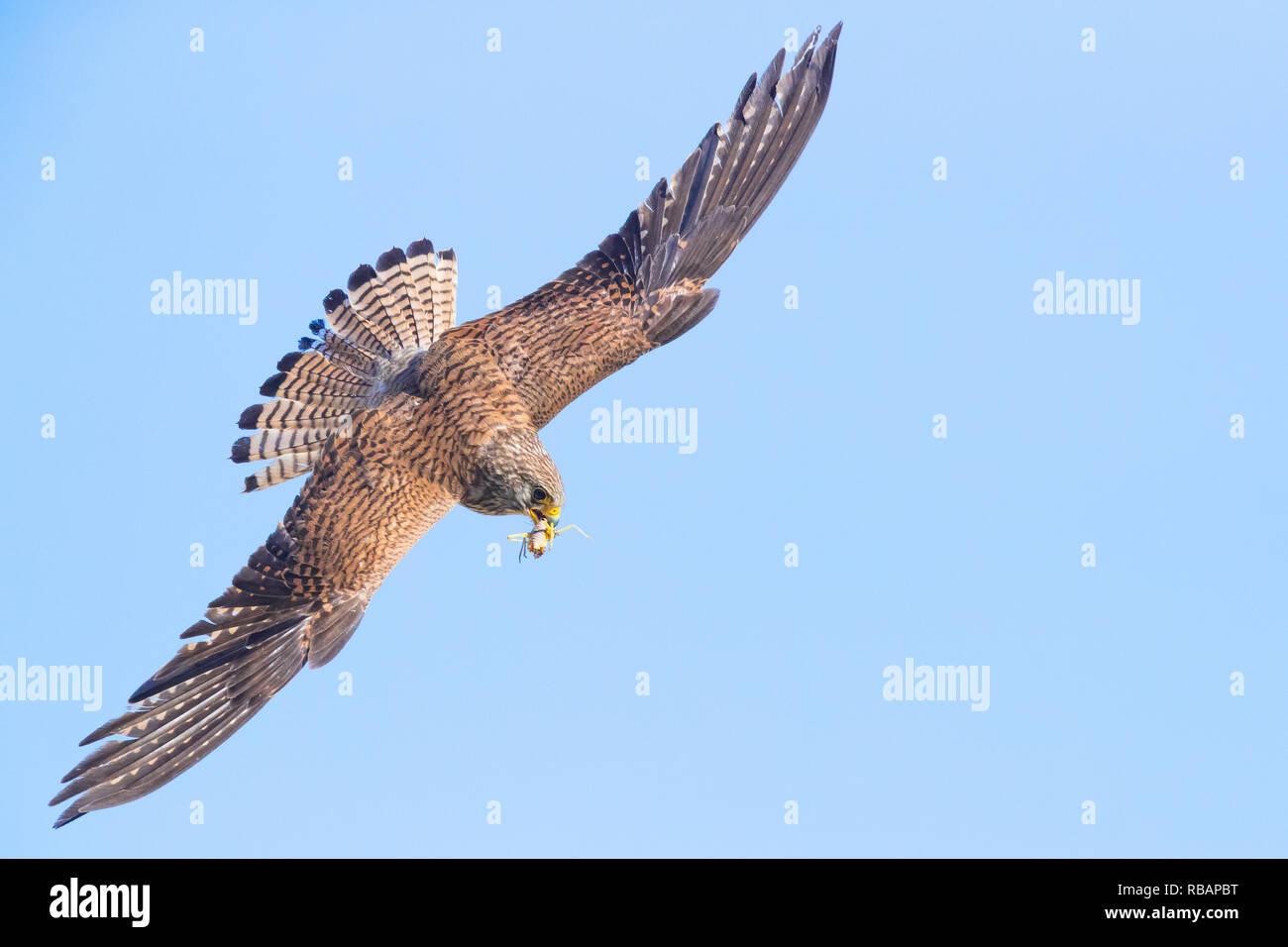 Lesser Kestrel (Falco naumanni), female in flight showing upperparts - Stock Image
