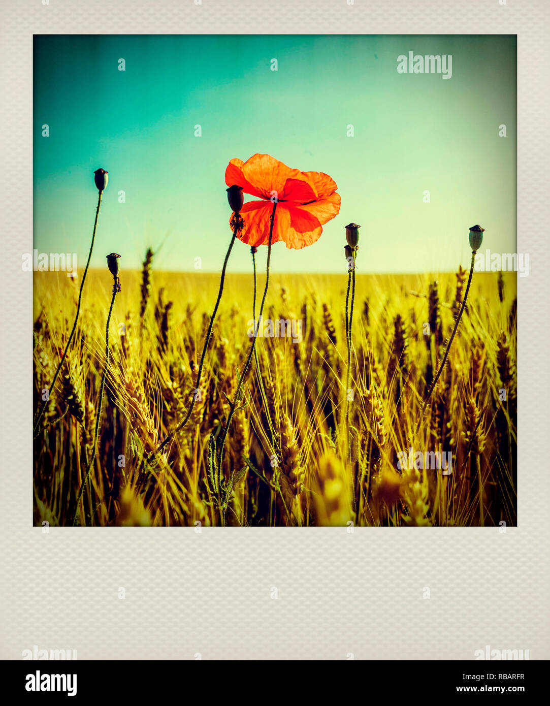 Polaroid effect of poppy in a wheat field, France, Europe - Stock Image