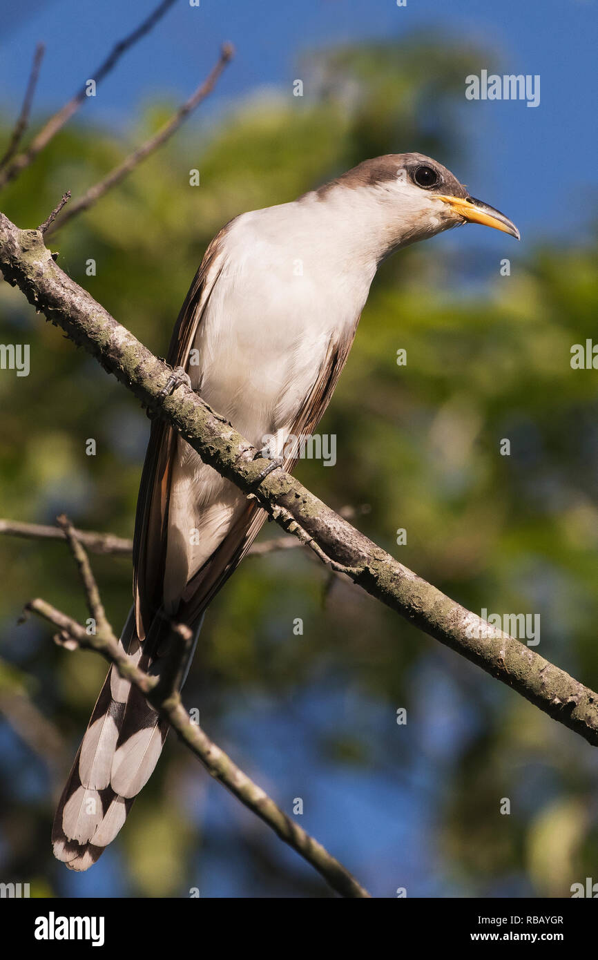 Yellow billed cuckoo up close Stock Photo
