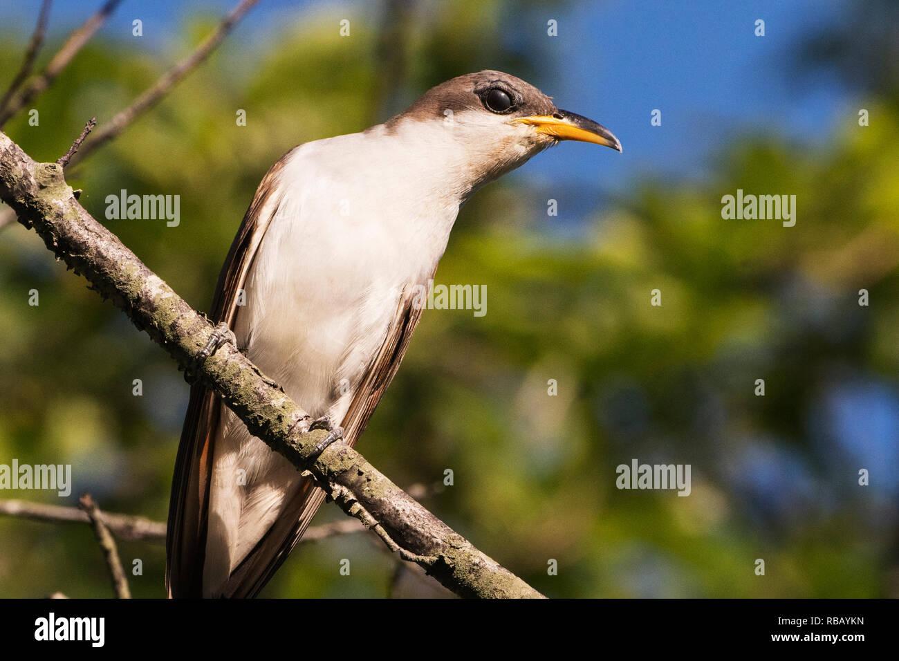 Yellow billed cuckoo up close - Stock Image