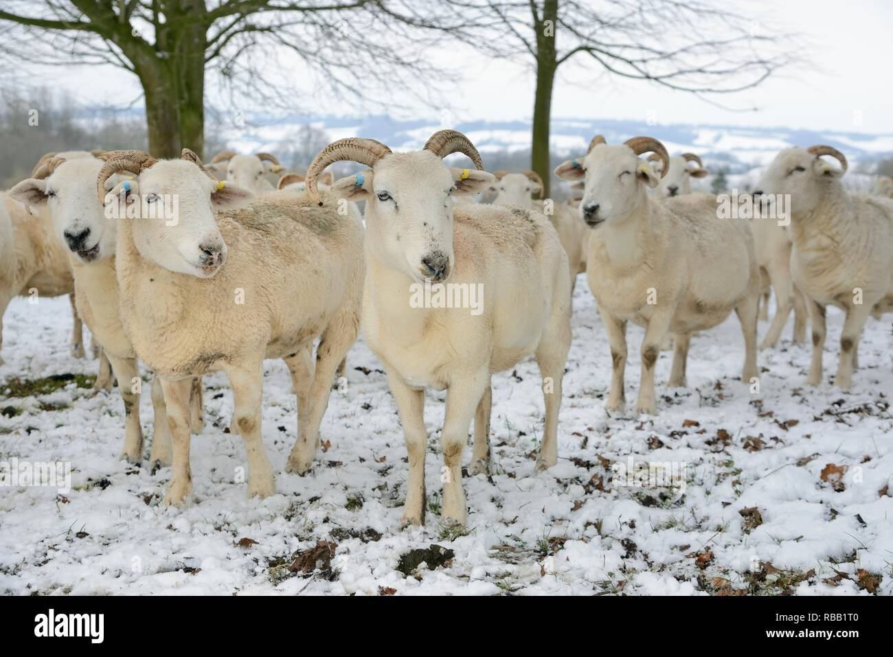 Herd of Wiltshire horn sheep (Ovis aries) standing in snow covered pastureland, Wiltshire, UK, March. - Stock Image