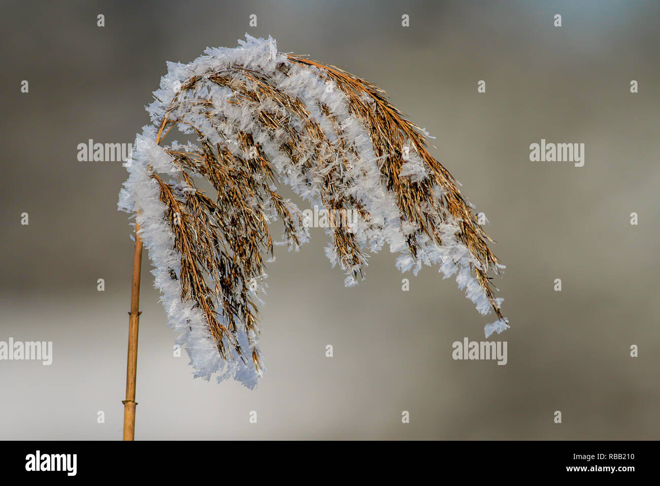 frozen reed - Stock Image