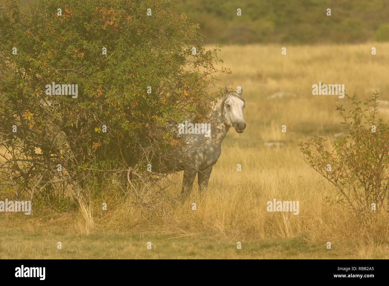 Wild horses Livno Bosnia Herzegovina - Stock Image