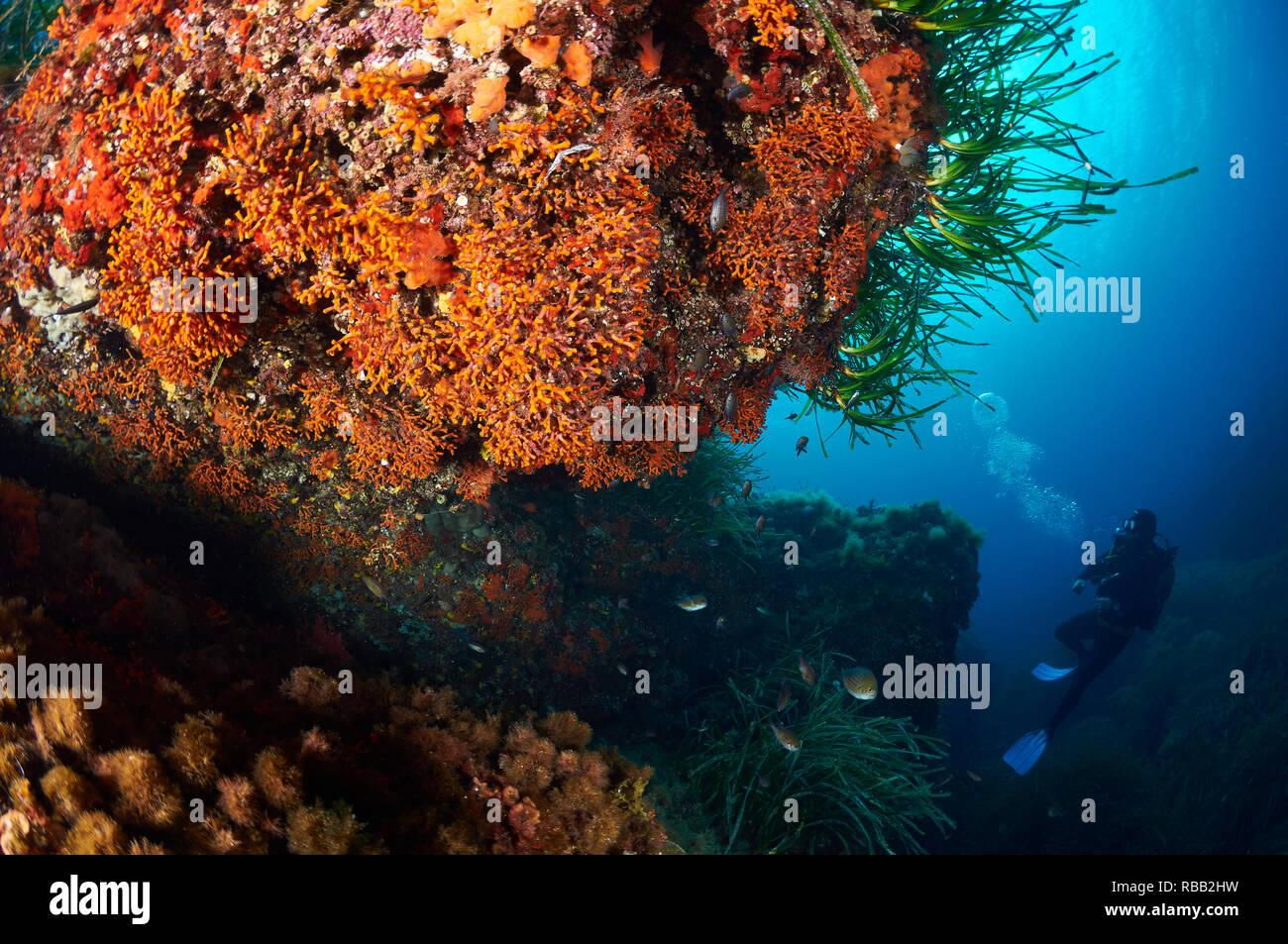Scuba diver looking an underwater cave full of false red coral (Myriapora truncata) in Ses Salines Natural Park (Formentera, Balearic Islands, Spain) Stock Photo