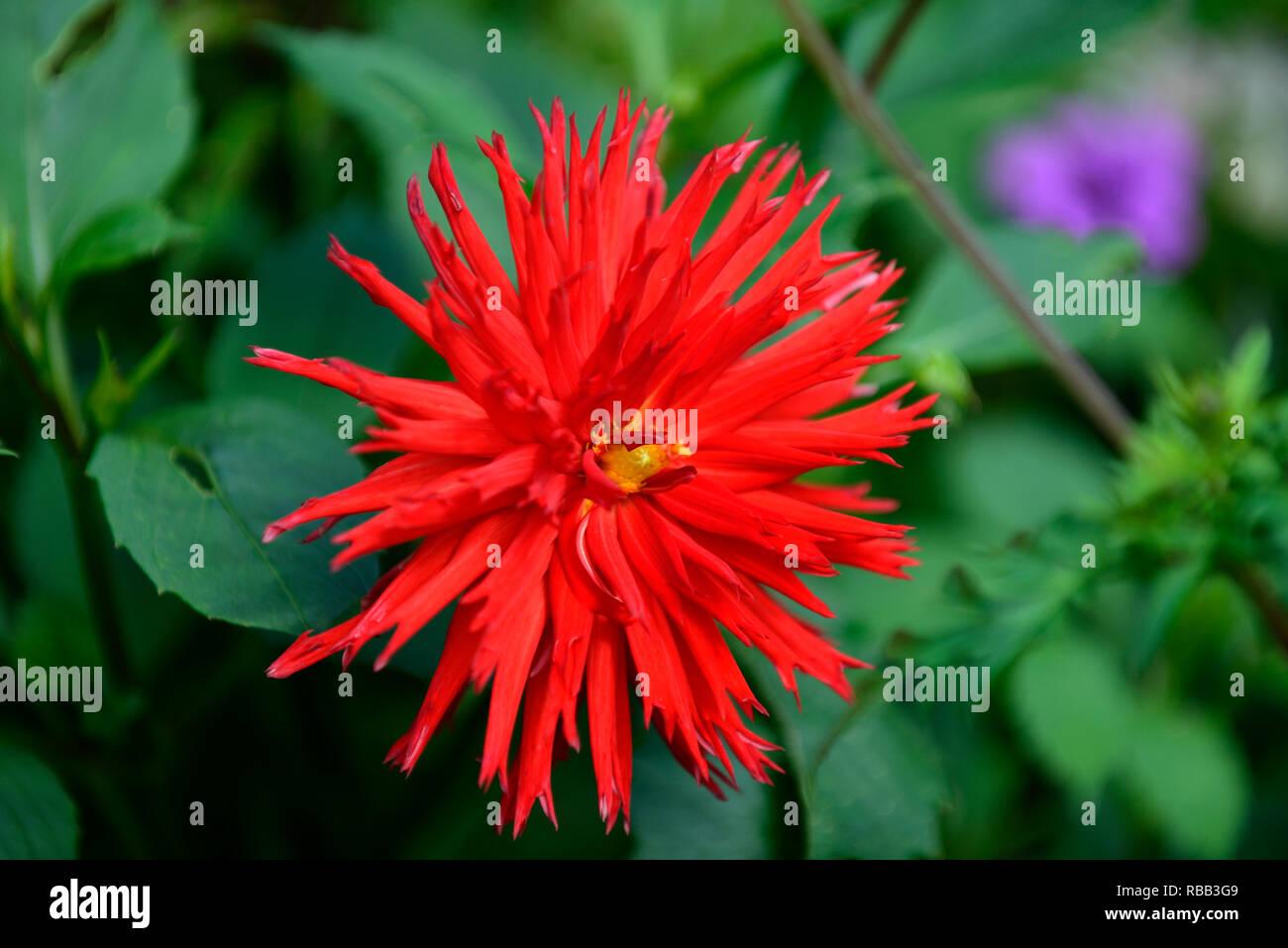 dahlia hillcrest royal,red,scarlet,magenta,dahlias,cactus dahlia,tropical,exotic,RM Floral - Stock Image