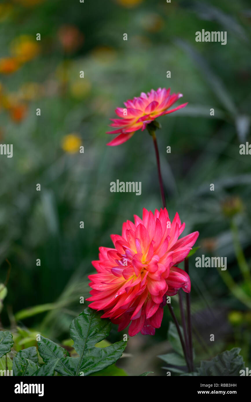 Dahlia Kilburn Glow,Waterlily flowered dahlia,Waterlily dahlia,red,magenta,orange,yellow tones,flower,flowers,flowering,RM Floral - Stock Image