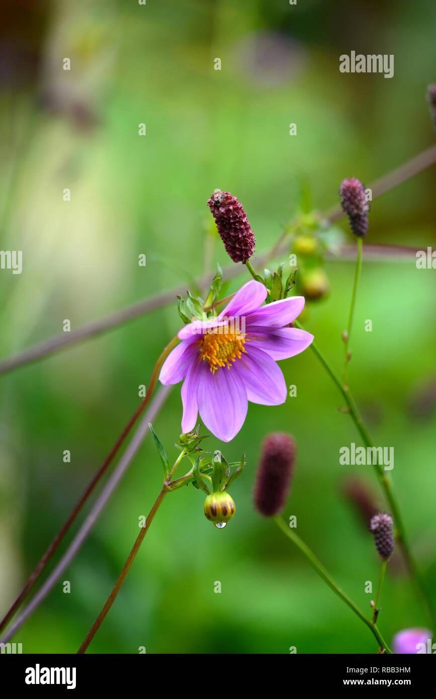 dahlia merckii,species dahlia,dahlias,lila pink flowers,flowering,flower,perennial,RM Floral - Stock Image