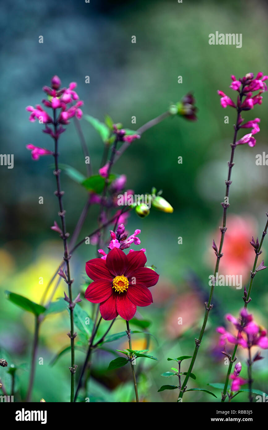 Dahlia seedling,red,scarlet coloured,salvia involucrata,pink, flower,flowers,flowering,RM Floral - Stock Image