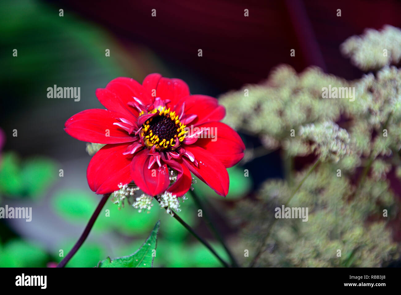 Dahlia seedling,red,magenta coloured,frilly,frills,white, flower,flowers,flowering,RM Floral - Stock Image