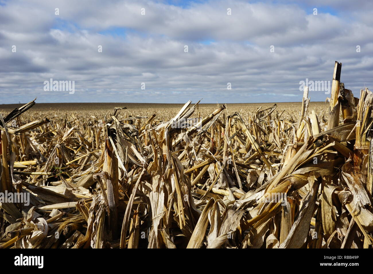 Cornfield and Sky, Central Illinois - Stock Image