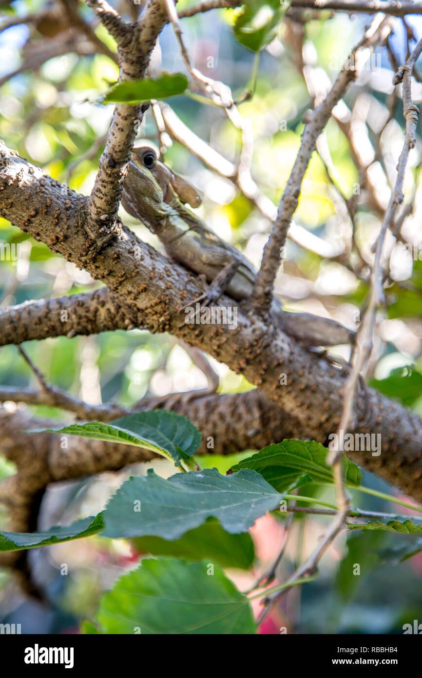 Tenguereche, Basiliscus vittatus - Stock Image