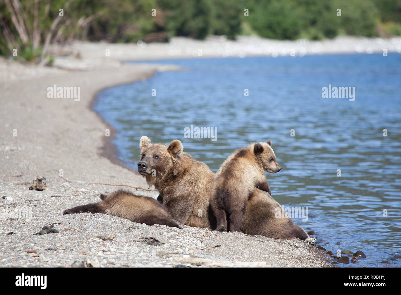 Small cute funny cubs plays with big wild brown bear grizzly bears  on the lake. Kuril lake. Kamchatka. Russia, - Stock Image