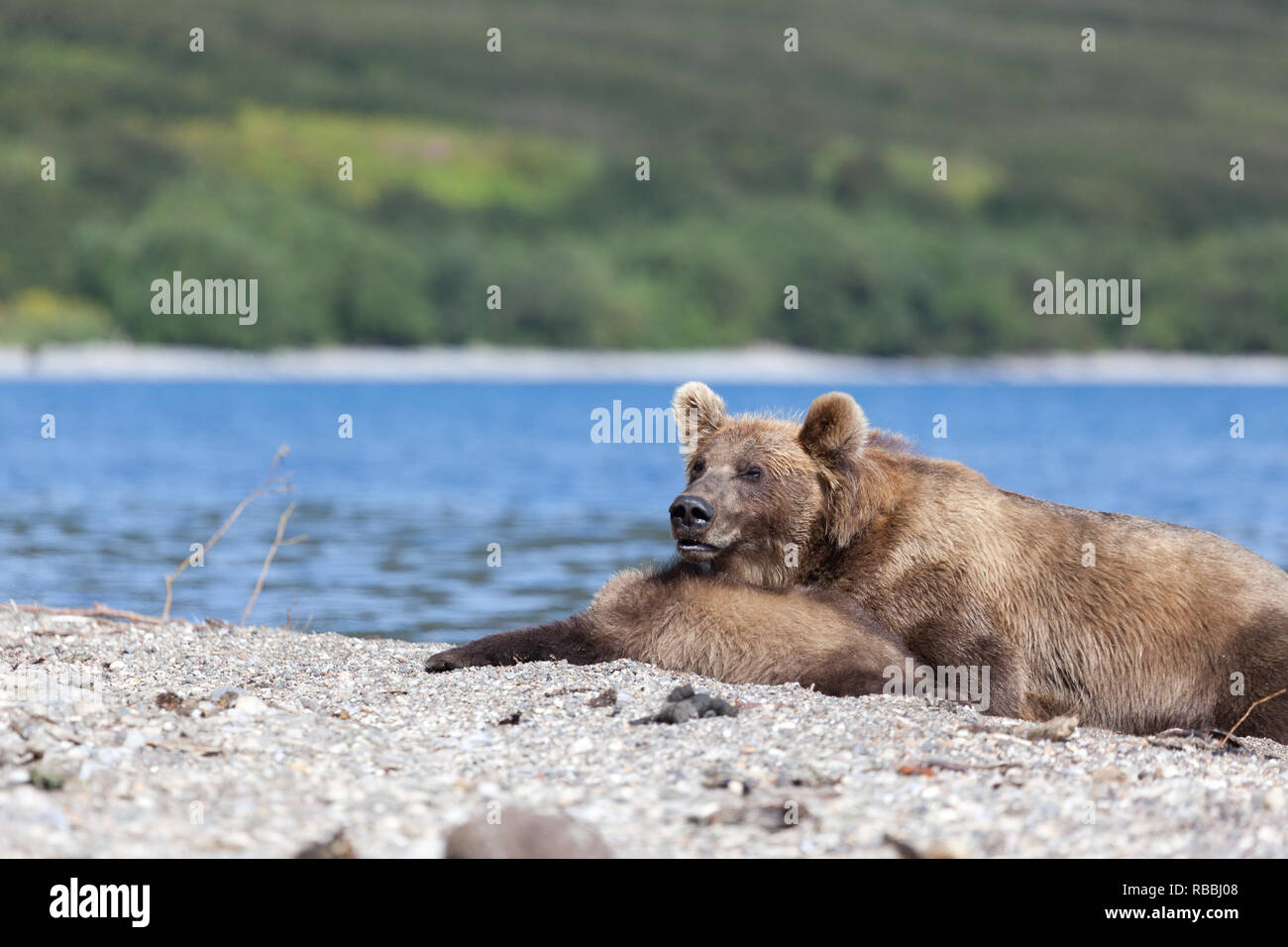 Small cute cubs lying with big wild brown bear grizzly bears  on the lake - Stock Image