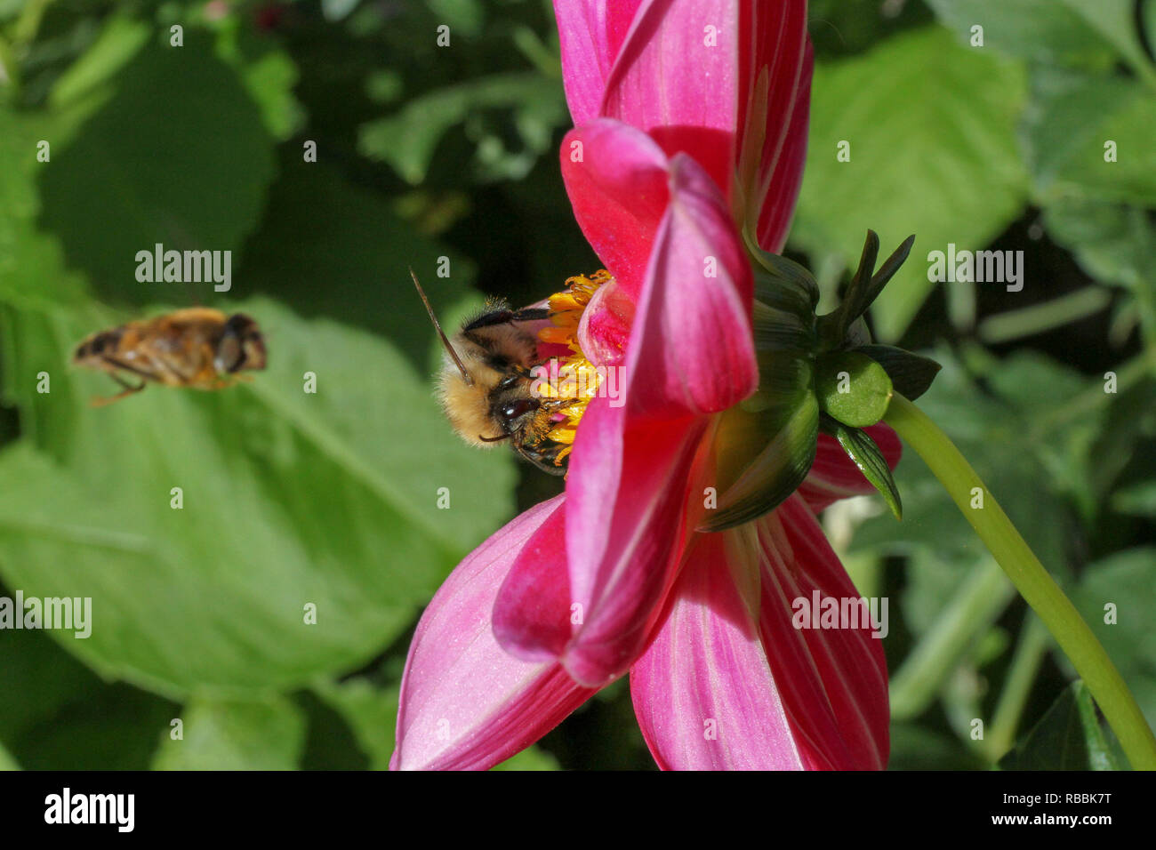 A UK garden bee collecting pollen from a cerise coloured dahlia flower. - Stock Image