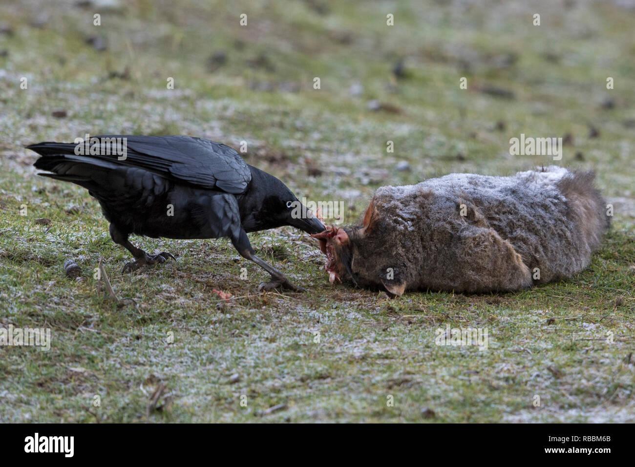 tasmanain crow or forest raven corvus tasmanicus feeding on dead brush tailed possum road kill north west tasmania australia - Stock Image
