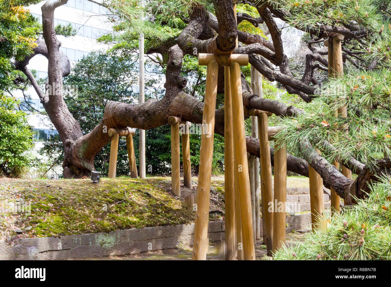 300 Year Old Pine Tree In Tokyo Hamarikyu Gardens Stock ...