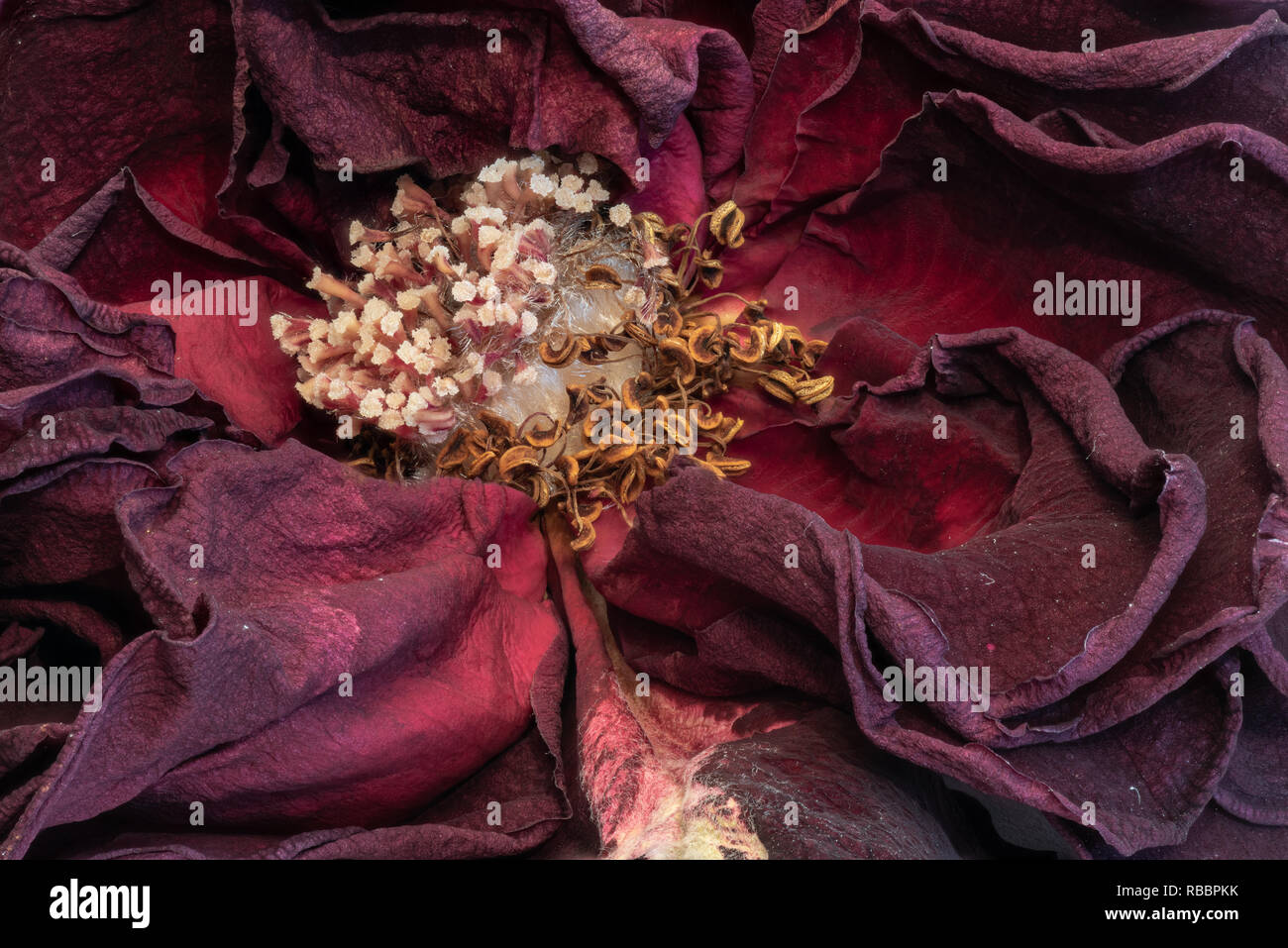 Fine art still life floral close up macro of the inner of an aged lush purple dark red velvety rose blossom with detailed texture - Stock Image