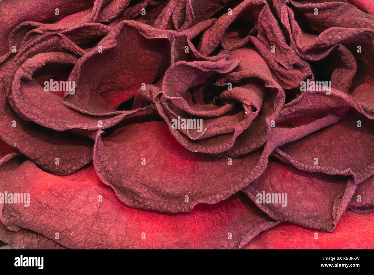 Fine art still life floral close up macro of petals of an aged lush purple dark red velvety rose blossom with detailed texture - Stock Image
