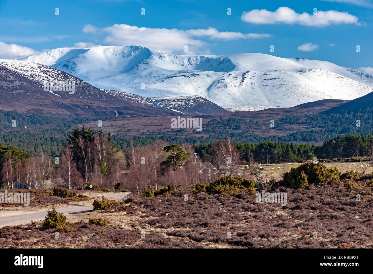 Snow clad Scottish mountain Braeriach in the Cairngorms National Park seen from  Rothiemurchus Highland Scotland with birch & pine trees in front - Stock Image