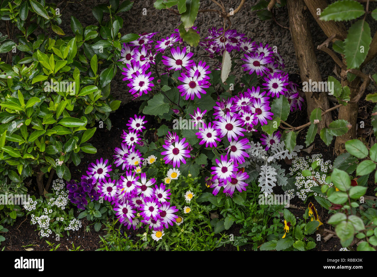 Closeup of garden flowers in Kirkwall, Orkney, Scotland, United Kingdom, Europe. - Stock Image