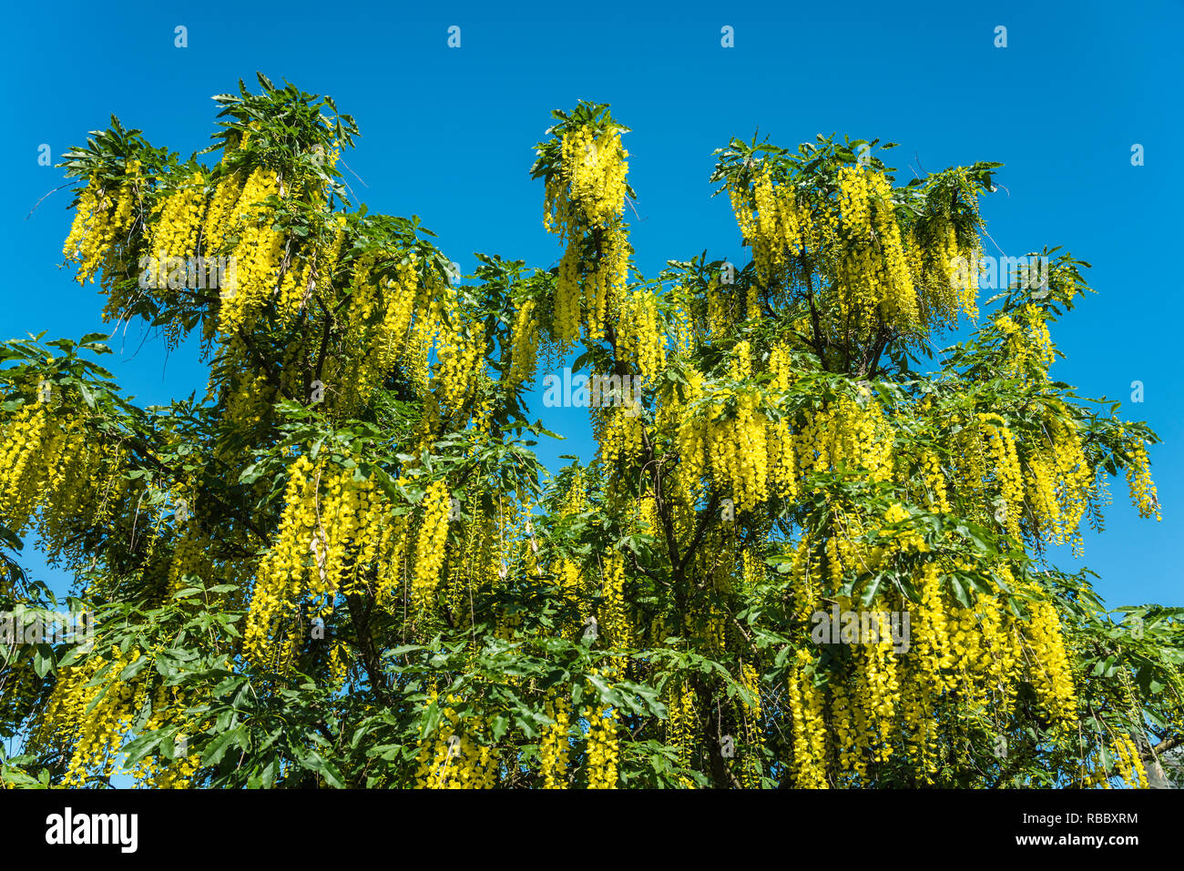 The Yellow Hanging Flowers Of The Golden Chain Tree In Inverness