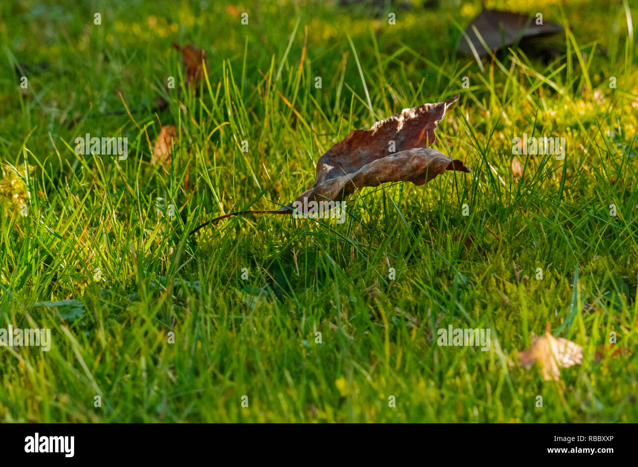 One dry leaf on a green field , bright grass and moss in a sunny day - Stock Image