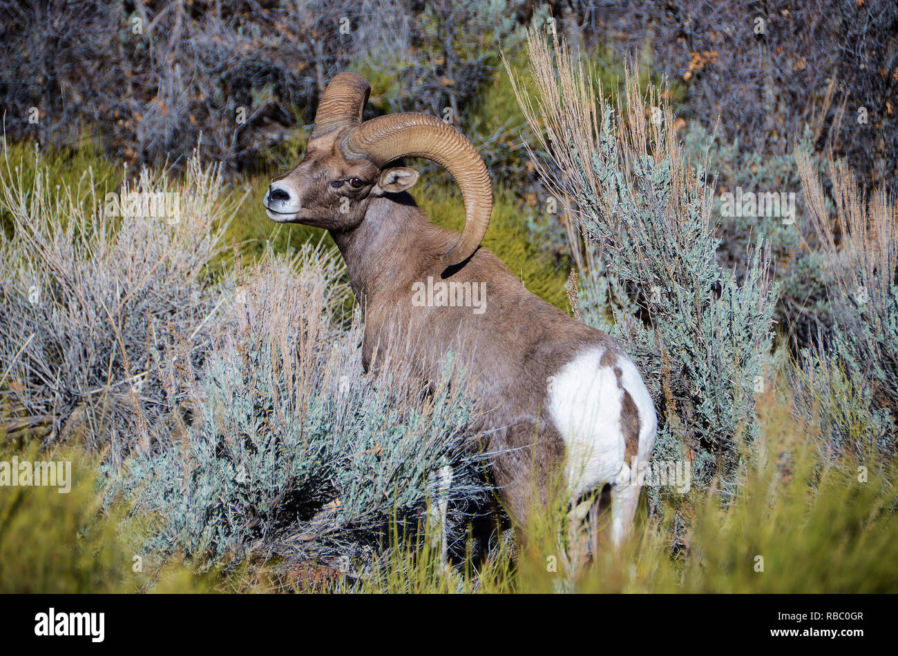 Rocky Mountain Big Horn sheep in Zions National Park, Utah. - Stock Image