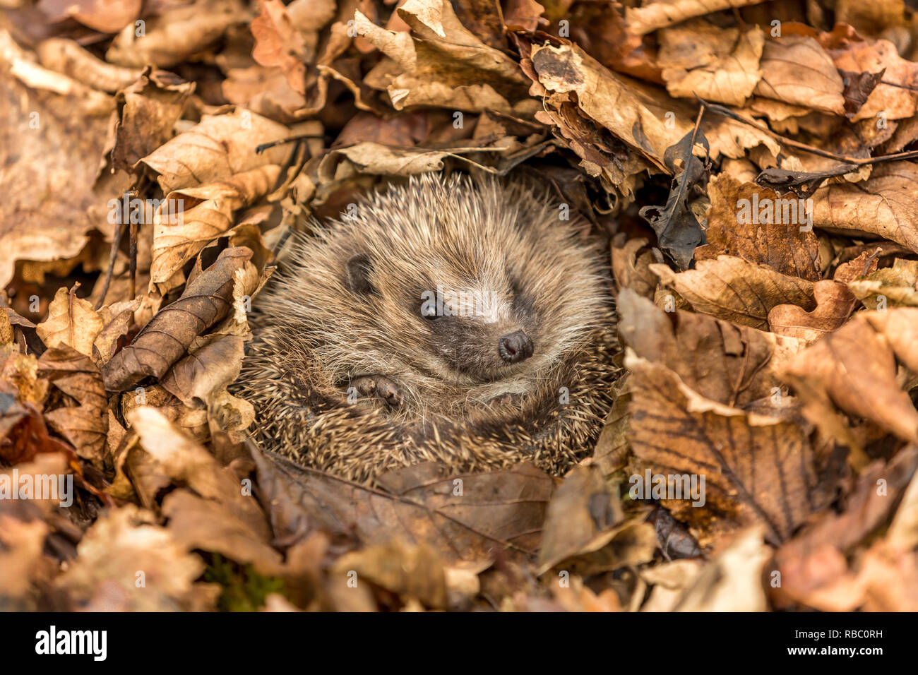 Hibernating hedgehog (Scientific name: Erinaceus europaeus). Wild, native, European hedgehog, curled into a ball and hibernating in Autumn leaves - Stock Image