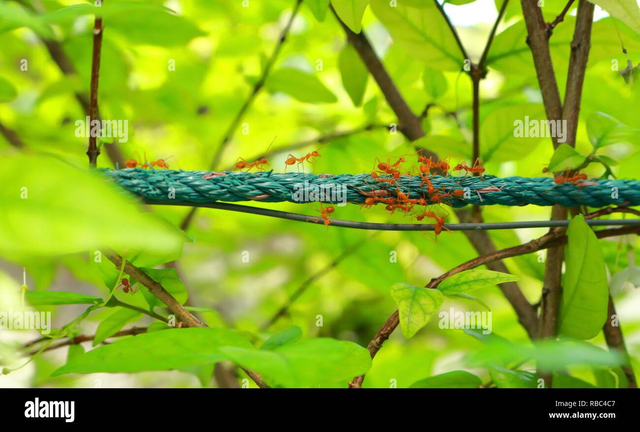 group of ants gather on the rope - Stock Image