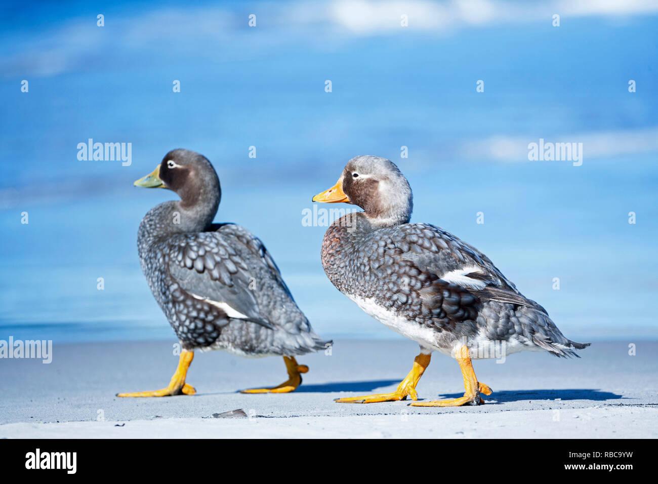 A male and a female steamer ducks (Tachyeres brachypterus) walking together, Sea Lion Island, Falkland Islands, Stock Photo