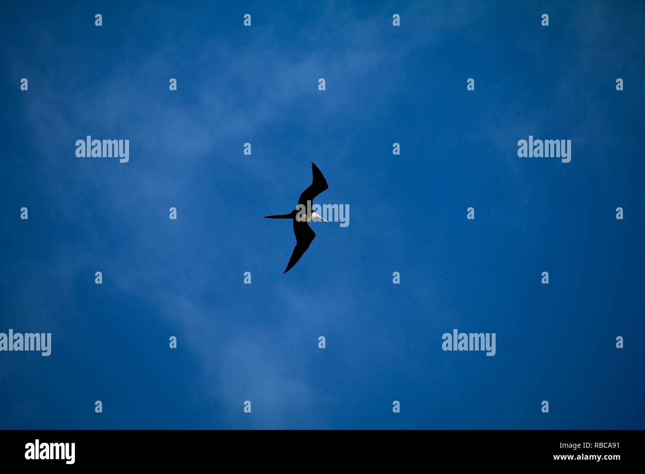 Complete freedom of a bird soaring against a deep blue sky - Stock Image