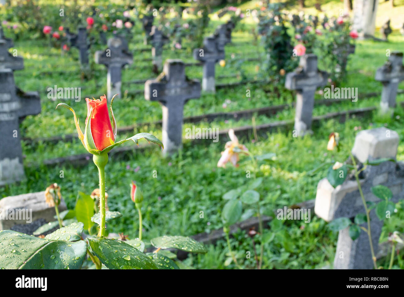 A red rose with the blurry background of the military cemetery in Cluj, Romania - Stock Image