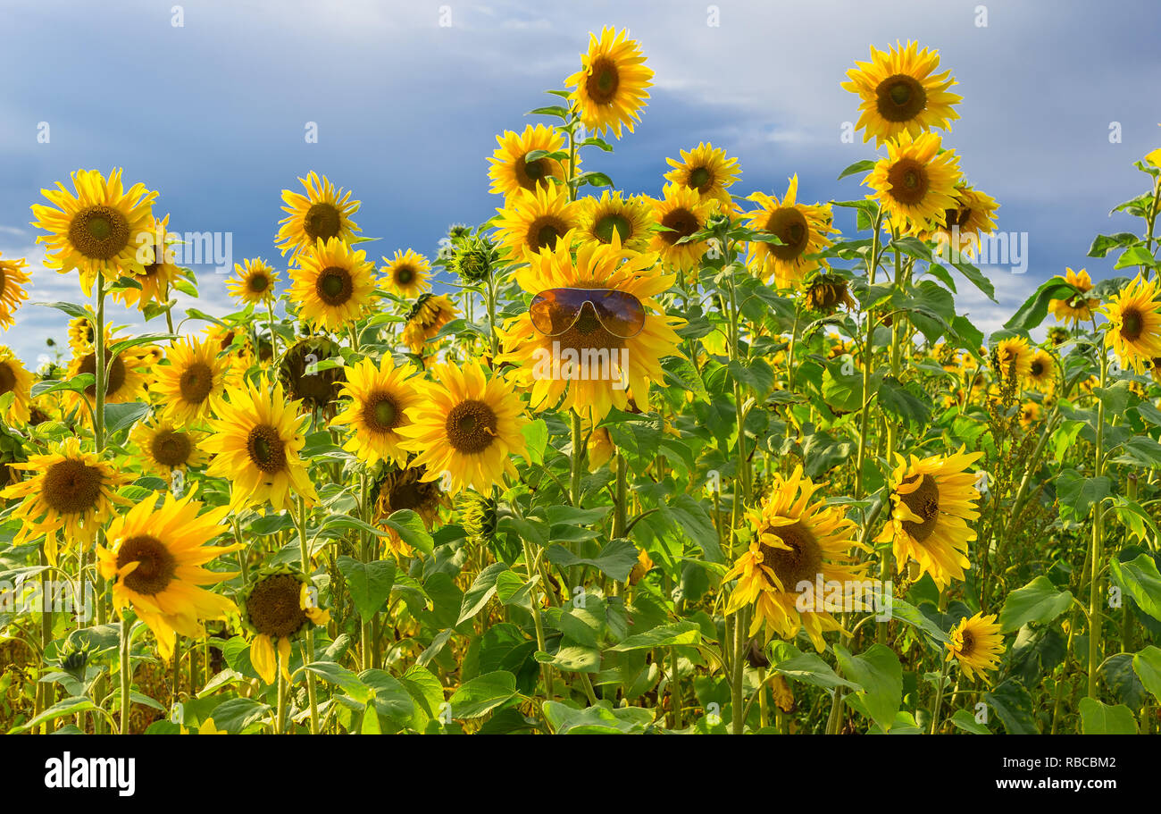 Sunflowers. Fun image of a field of bright yellow sunflowers.One sunflower is wearing large sunglasses.Happy, summer, cheerful, fun concept. Landscape - Stock Image